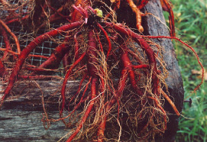 Manfaat Root Of Red Rooted Salvia